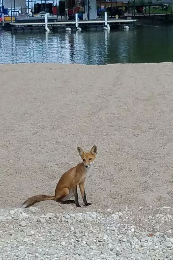 fox on beach
